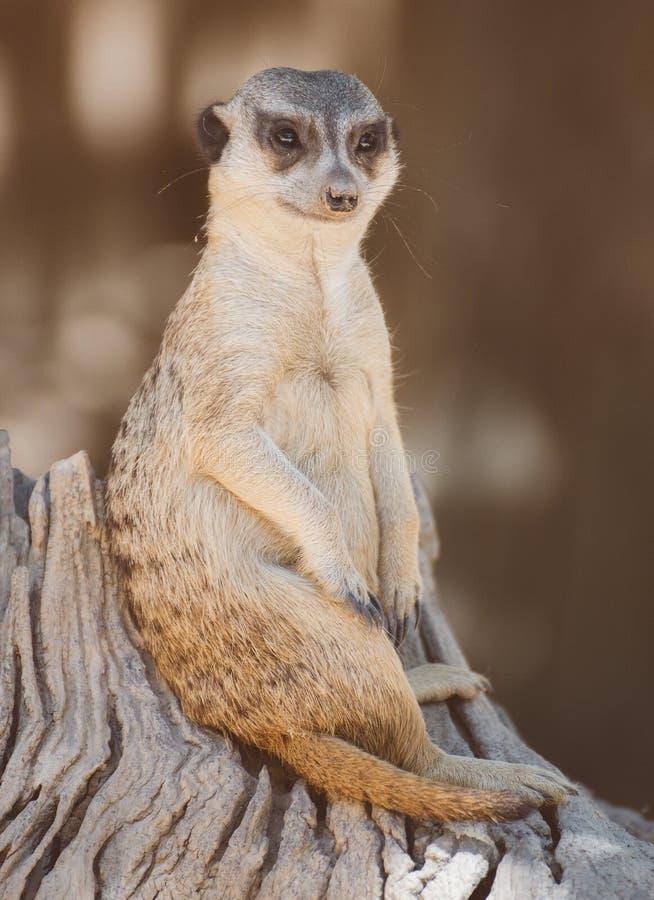 Suricata suricatta zdjęcia royalty free
