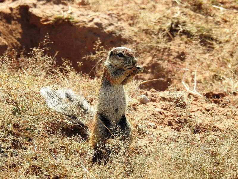 Suricata suricatta lizenzfreies stockfoto