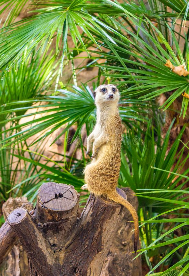 Suricata suricatta, Meerkat lizenzfreie stockbilder