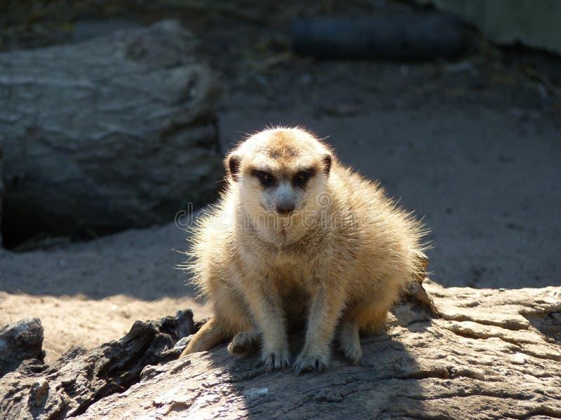 Suricata Suricatta Meerkat oder Suricate in Afrika lizenzfreies stockbild