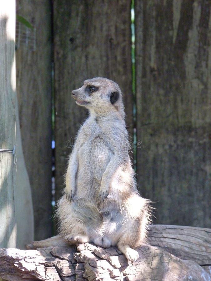Suricata Suricatta Meerkat oder Suricate in Afrika lizenzfreie stockfotos