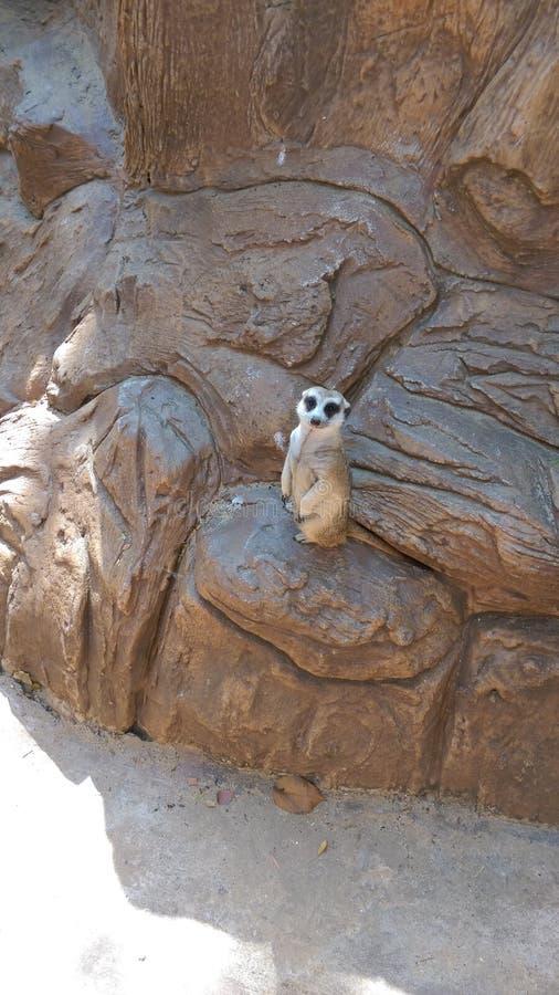 Suricata suricatta stock photography