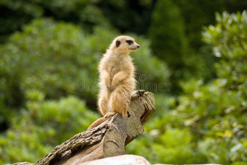 Suricata in uno zoo fotografia stock libera da diritti