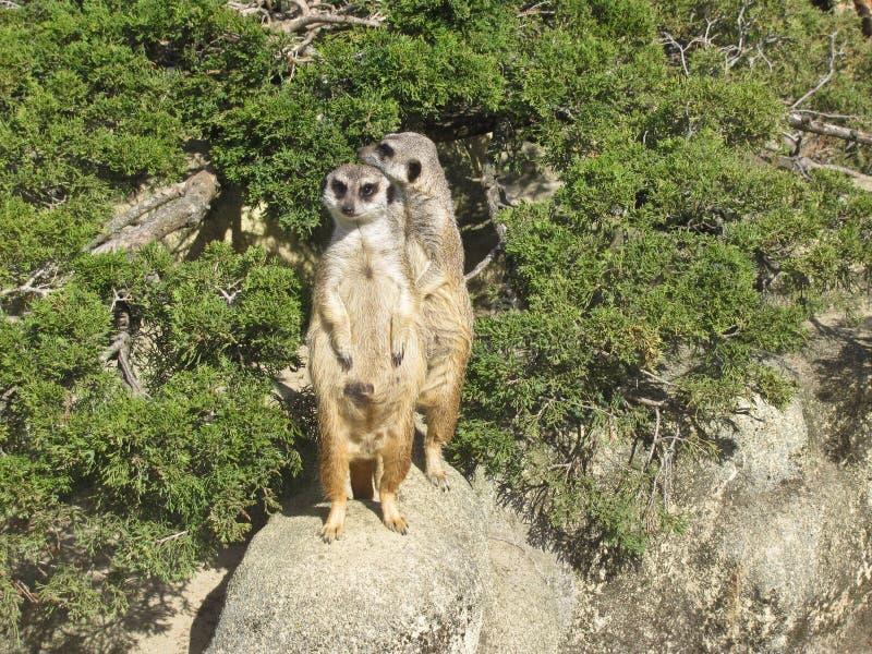 Suricataanseende p? en vakt Nyfiken meerkat arkivbild