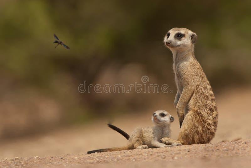 suricate щенка мати стоковое изображение