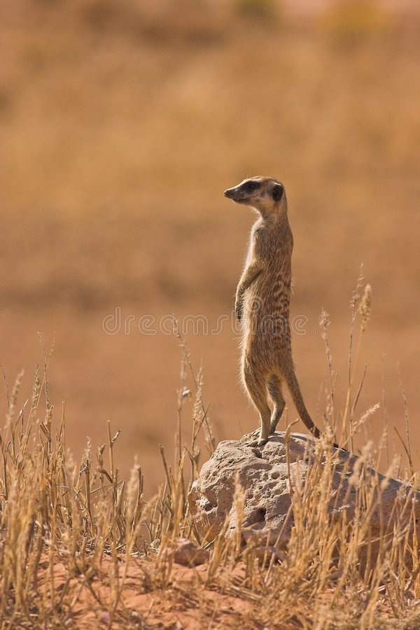 suricate стоковые фото