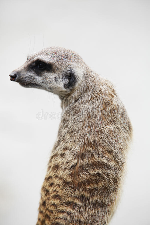 Download Suricate stock image. Image of desert, furry, nature - 24866677