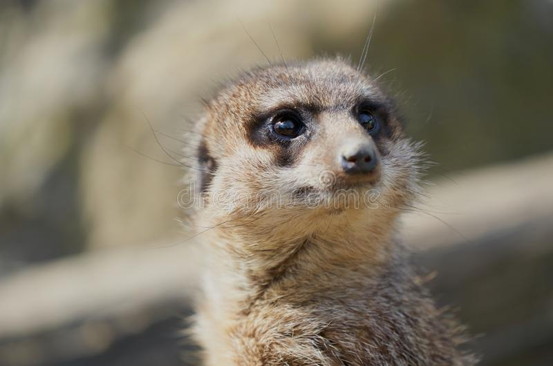 Suricate cute portrait. Detail full frame stock photo