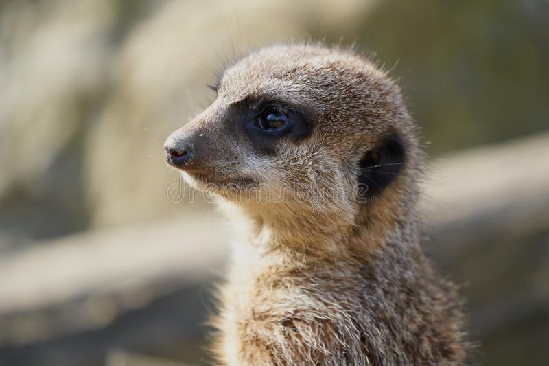 Suricate cute portrait. Detail full frame stock photography