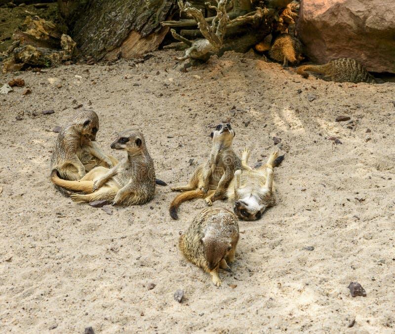 Suricate lub meerkat rodzina na ciepłym piasku obraz stock