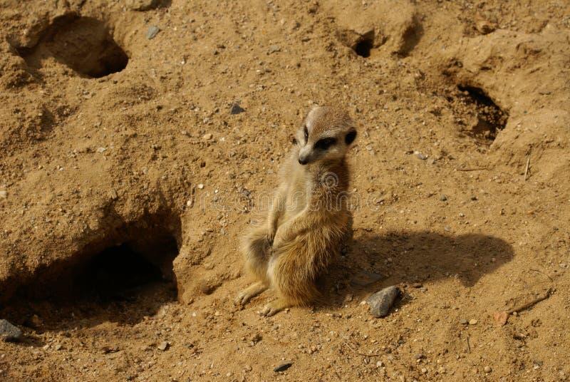 Suricate (meerkat) royalty free stock photos