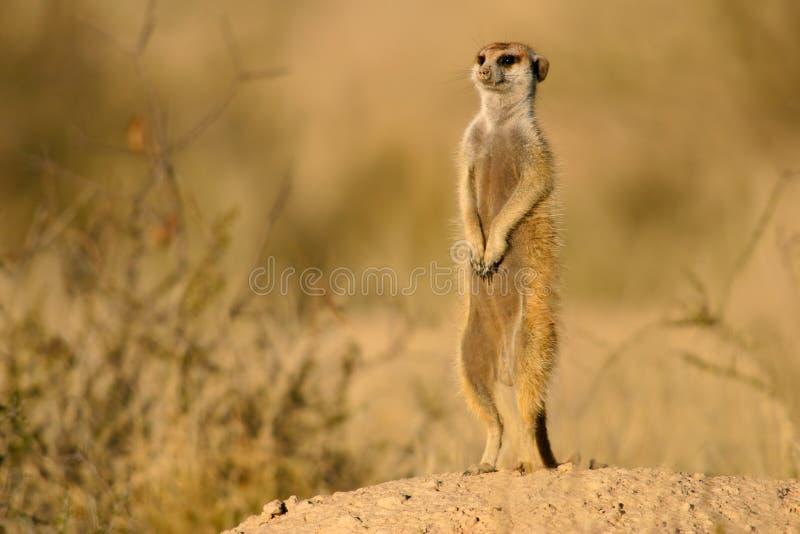 Suricate (meerkat) fotografia stock libera da diritti