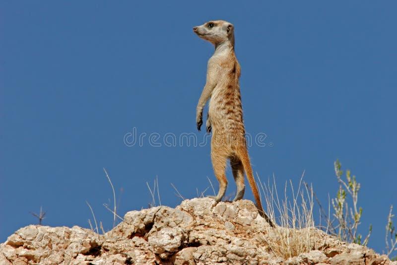 Suricate (meerkat) imagem de stock