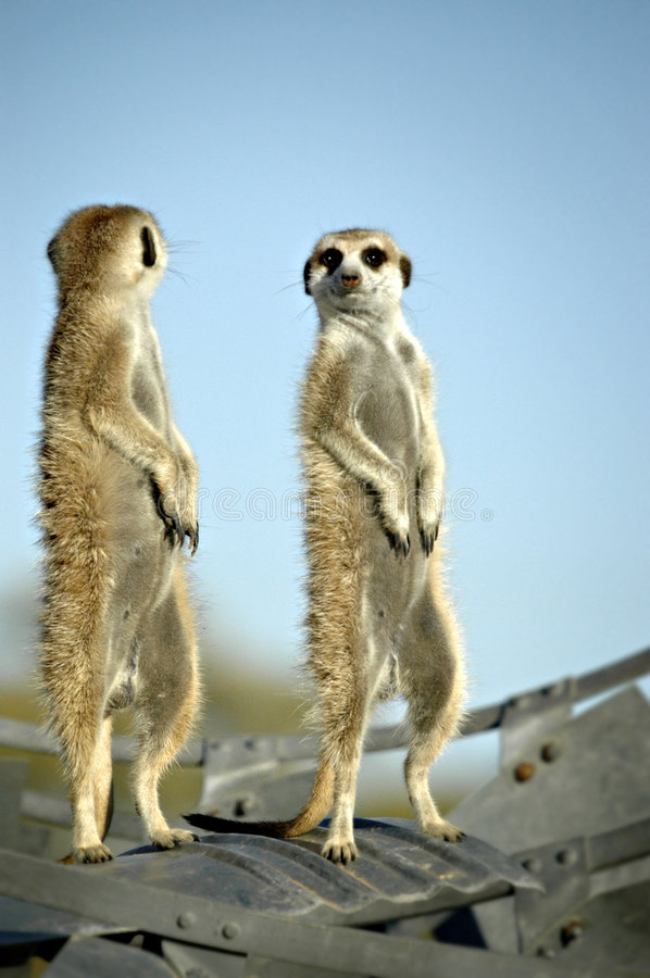 Suricate (Meerkat) en desierto namibiano imágenes de archivo libres de regalías