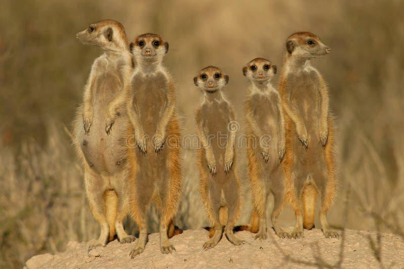 Suricate (meerkat) Familie   stockbilder
