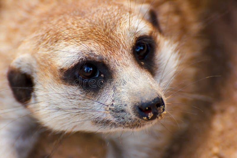 The suricate. The meerkat or suricate (Suricata suricatta) is a small carnivoran belonging to the mongoose family (Herpestidae stock image
