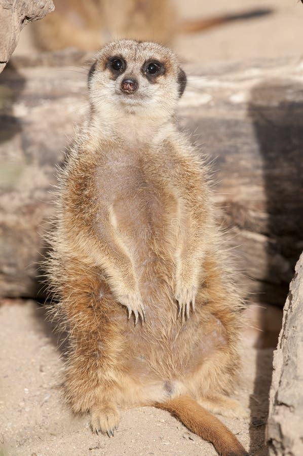 Suricate or Mongoose or Meerkat
