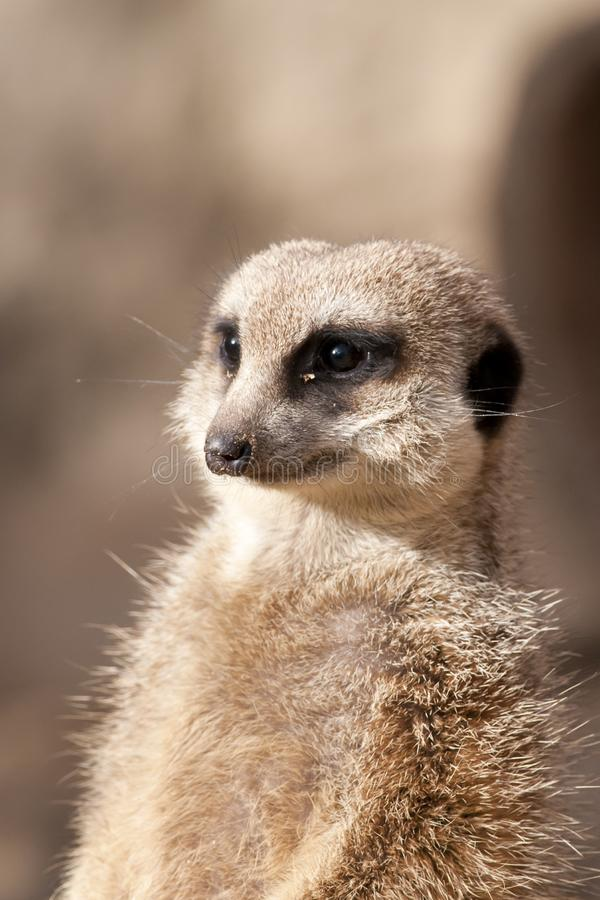 Download Suricate Or Mongoose Or Meerkat Stock Photo - Image of cute, suricatta: 18437570