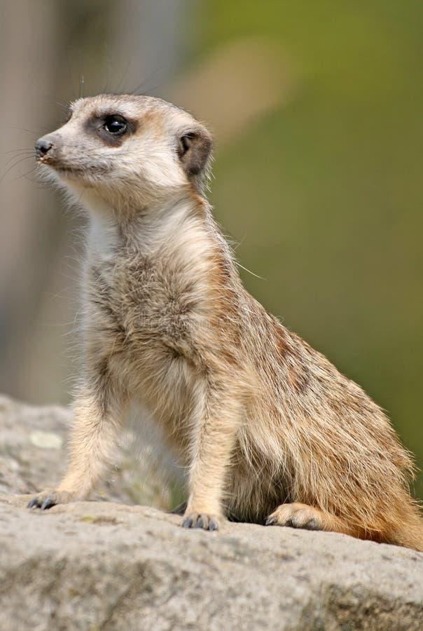 Suricate ou meerkat alerte photos libres de droits