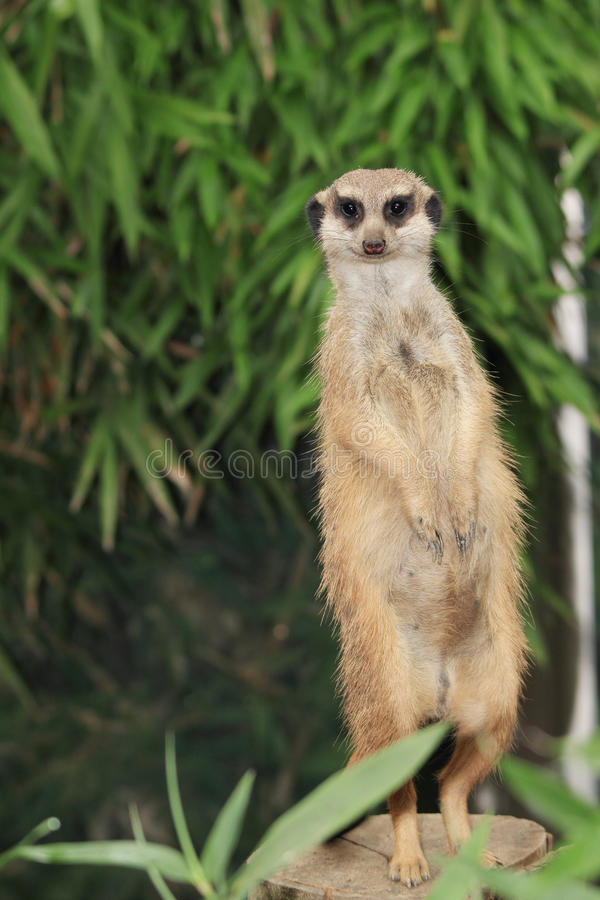 Suricate portrait. Watchful suricate meercat portrait photo stock image