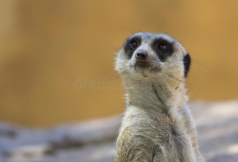Suricate Portrait Stock Photography