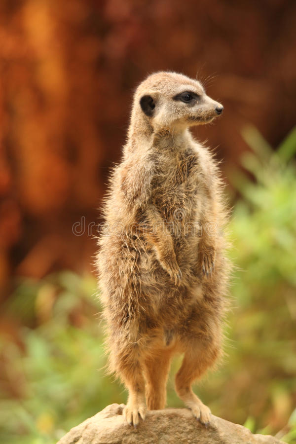 Suricate portrait. Watchful suricate on a rock portrait stock photos