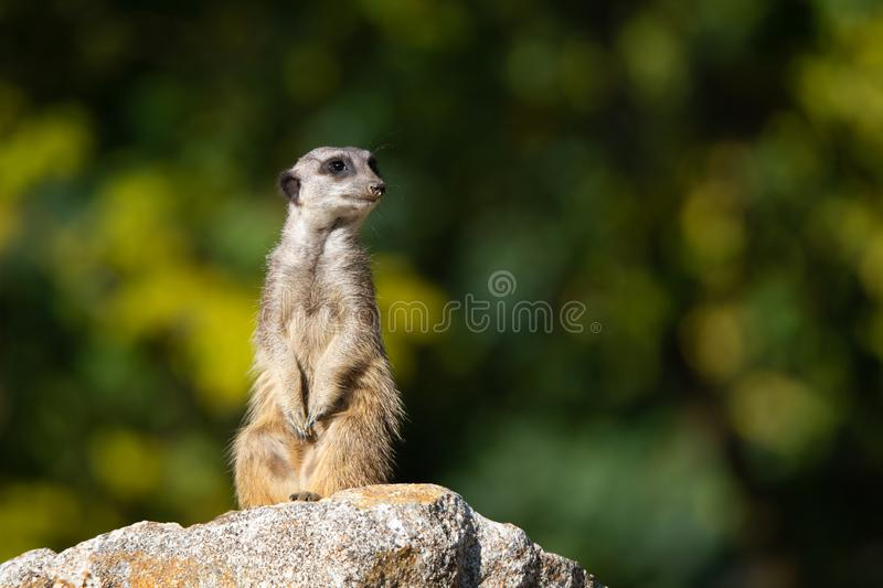 Meerkat with sandy snout on a stone sit up and beg on an autumnal colored bokeh background stock photo