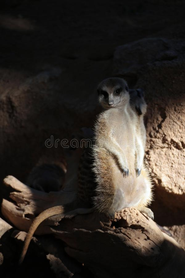 Suricate. In the shadows stock image