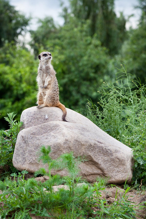 Suricate on stake out royalty free stock image