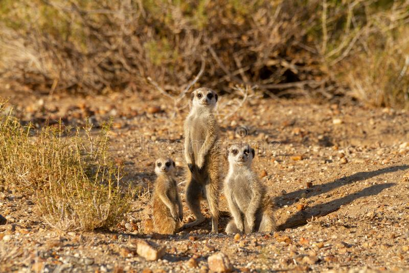 Suricate-Wüste Tier-Namibia Afrika lizenzfreies stockbild