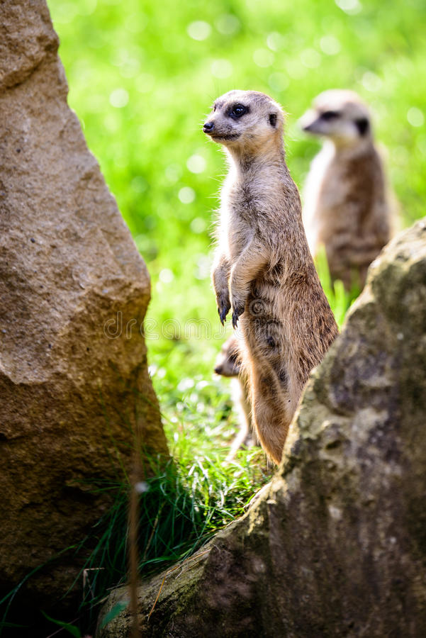 Suricate on watch royalty free stock photography