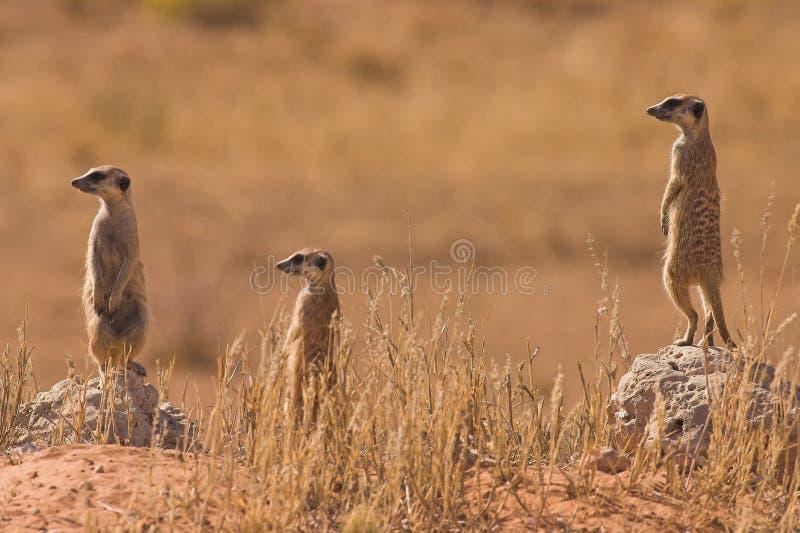 suricates стоковые изображения