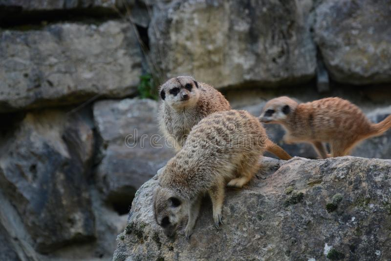 Suricates dans l'action dans le zoo photos libres de droits
