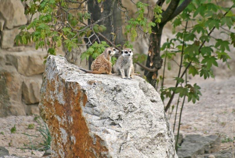 Suricates em um jardim zoológico imagem de stock
