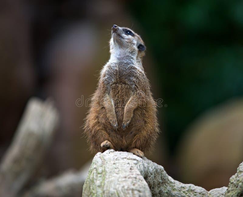 Merkat, suricato, royalty free stock images