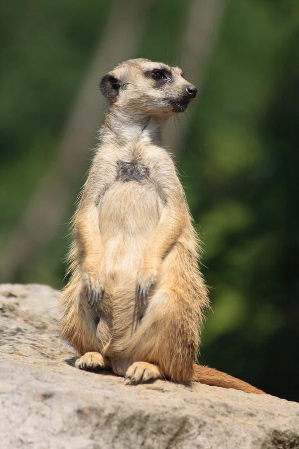 Suricatta Animal Stock Image