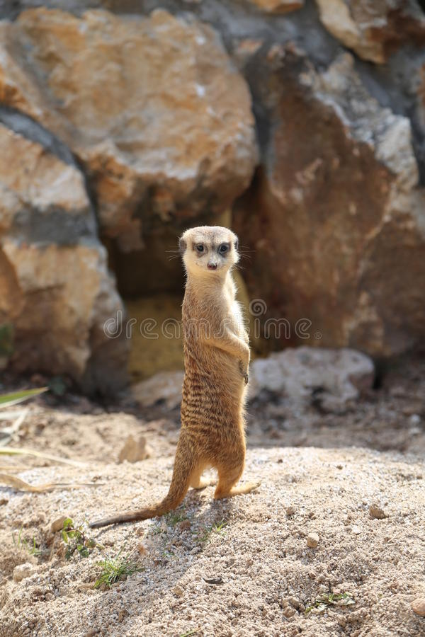Suricatta de Suricata de Meerkat photo stock
