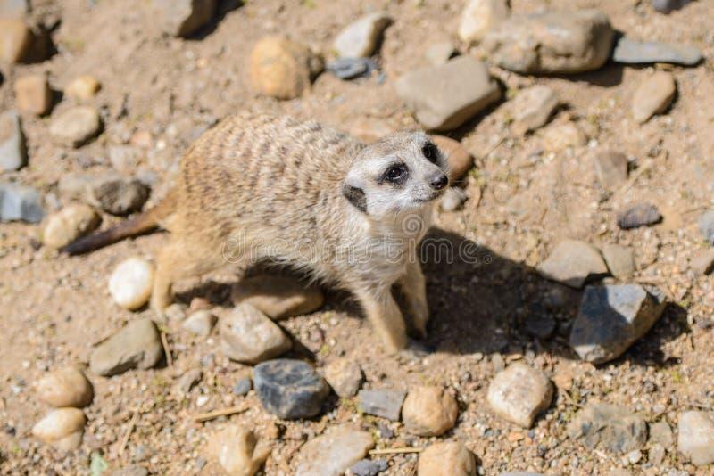 Suricatta Suricata Meerkat, также известное как suricate Животное живой природы стоковая фотография rf