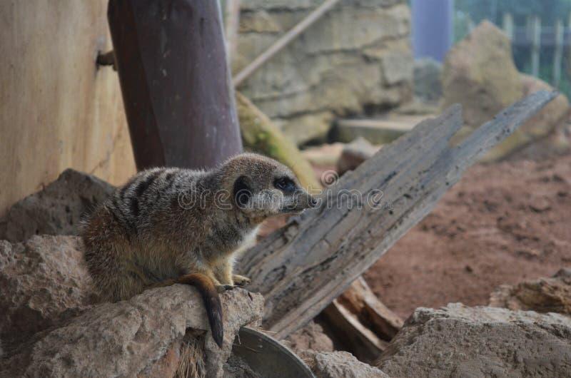 Suricatta van Meerkatsuricata in de dierentuin van Auckland op een tak royalty-vrije stock fotografie