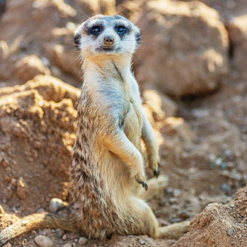 Surikat eller för meerkat hållande ögonen på raksträcka och sitta på stenar royaltyfri fotografi