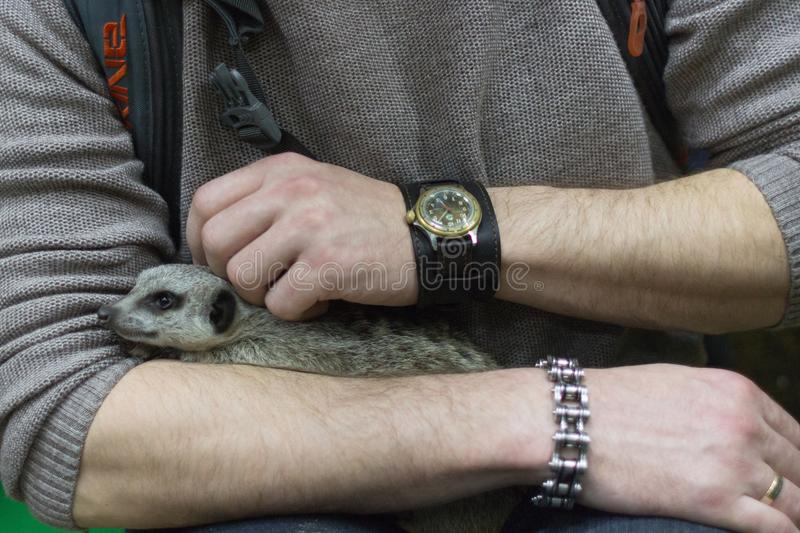 Surikat in the hands of a man in a contact zoo. Surikat sleeps in the hands of a man. A trusty mongoose. on-contact zoo. Wild nature. World of wild nature. Fauna stock photos