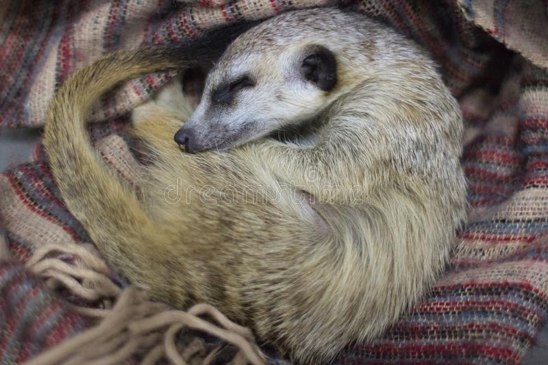 Surikat sleeps on a scarf. Surikat sleeps in the hands of a man. A trusty mongoose. on-contact zoo. Wild nature. World of wild nature. Fauna of the tropics. An stock photos