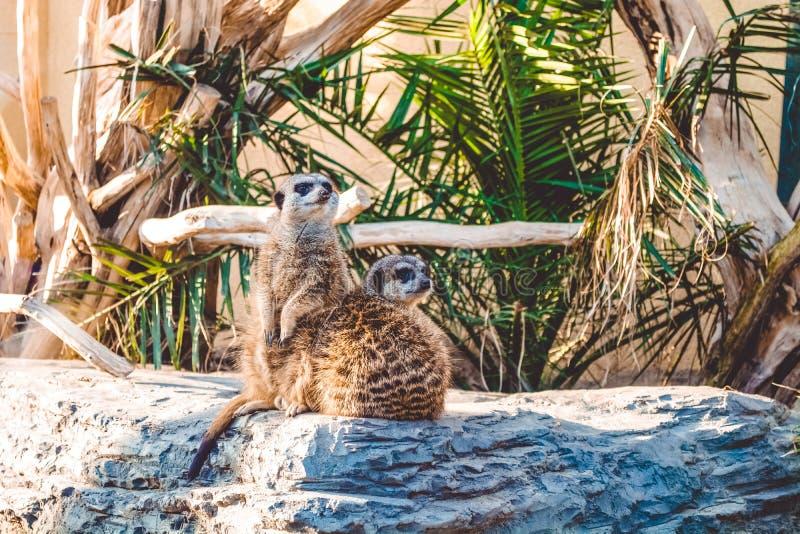 Surikata senta-se em pedras entre palmeiras e é tomado sol no sol Animais selvagens bonitos de África Habitantes do deserto fotos de stock