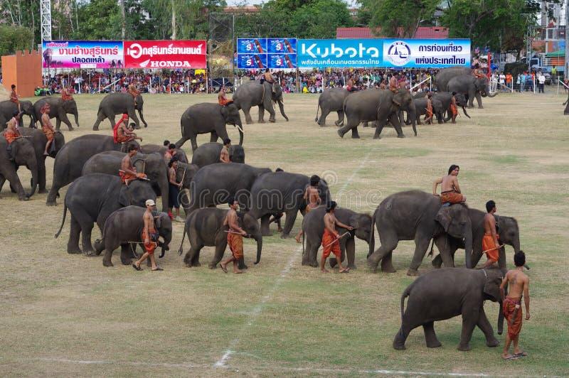 The Surin Elephant Round-up royalty free stock photo