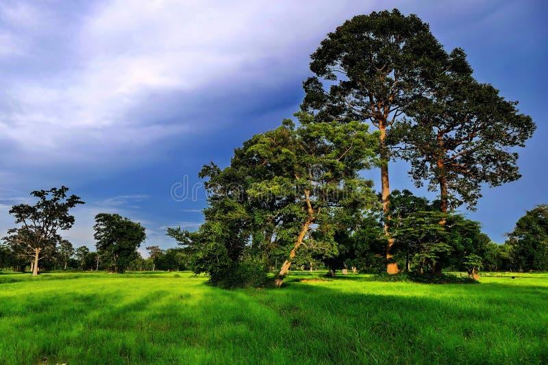 Surin ricefields arkivfoto