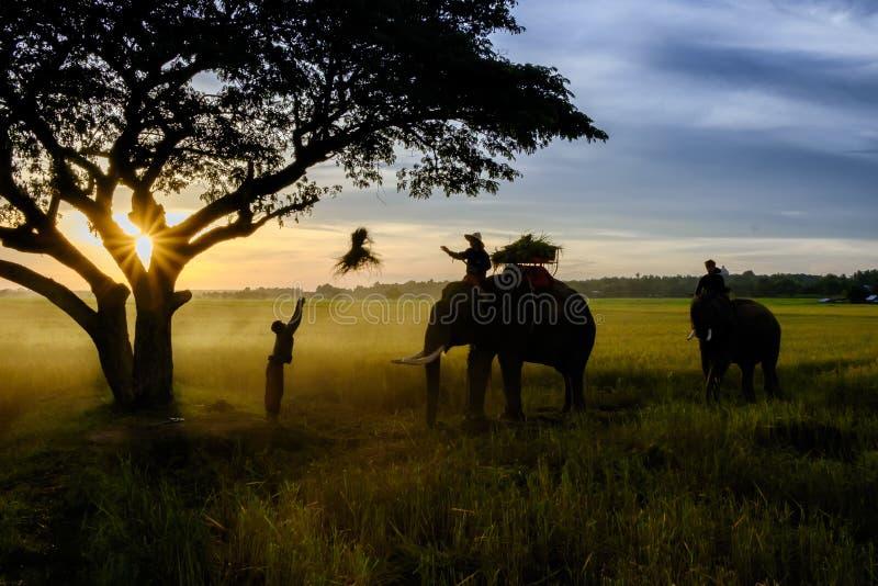 SURIN, TAJLANDIA - OKOŁO PAŹDZIERNIK 2016: Tajlandzcy ludzie pracuje w ryżu polu przy wschodem słońca W Tajlandia gospodarka domi obraz stock