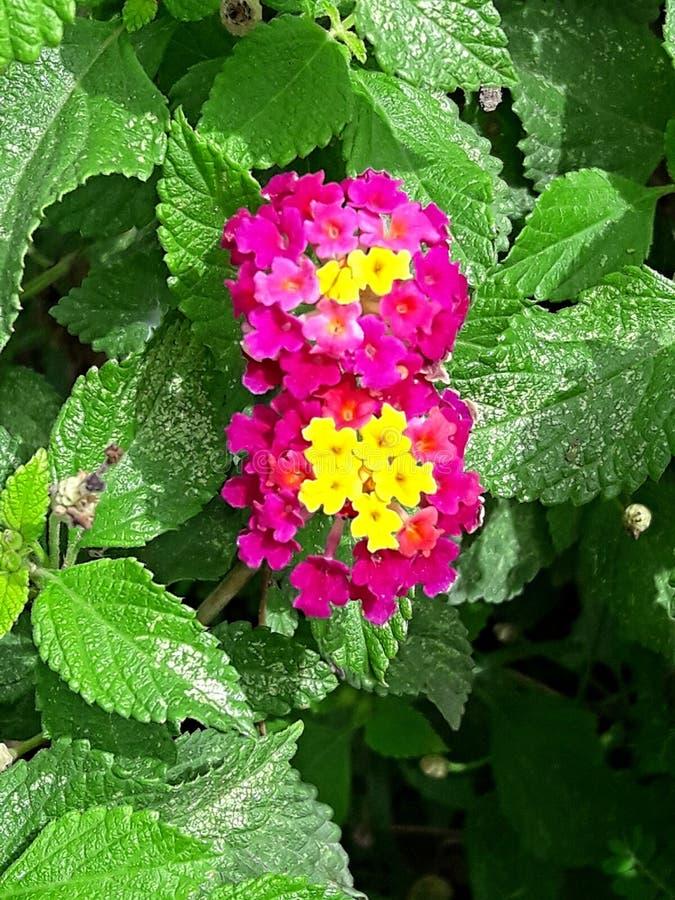 Surinamese flower stock photography