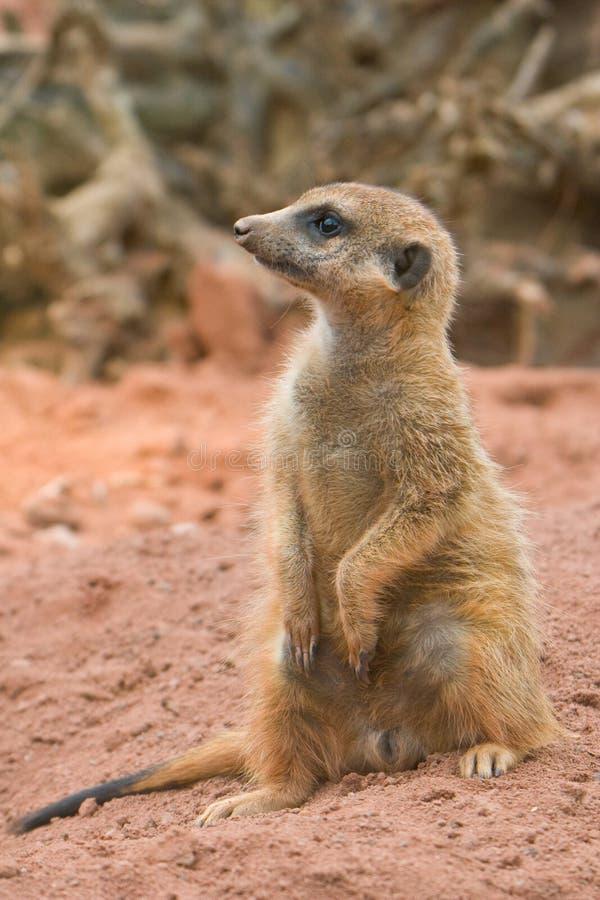 Suritcate, ou Meerkat (suricata do Suricata) fotos de stock royalty free