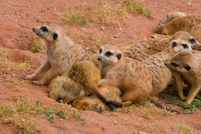 Suritcates, ou Meerkats (suricata do Suricata) fotos de stock royalty free