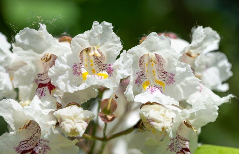 Surmiów bignonioides kwiaty zdjęcia royalty free